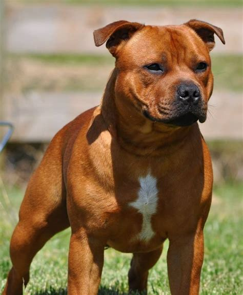 Staffordshire Bull Terrier Breed Description: History and