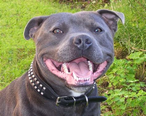 Staffordshire Bull Terrier Puppies And Dog - Pictures Of