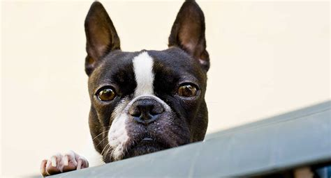 Boston Terrier - Is This The Right Breed For You?