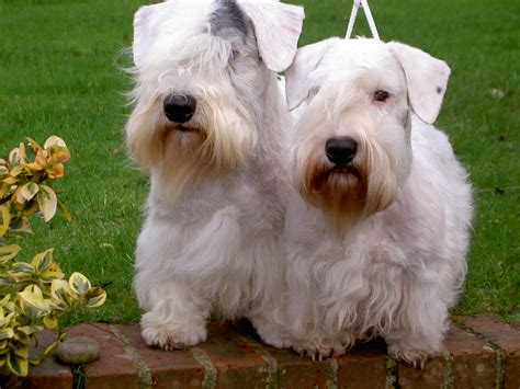 Save the Sealyham Terrier | The Real Wales