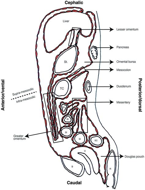 Frontiers | The Peritoneum: Beyond the Tissue – A Review