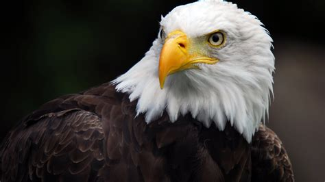 American Bald Eagle Desktop Hd Wallpaper For Pc Tablet And