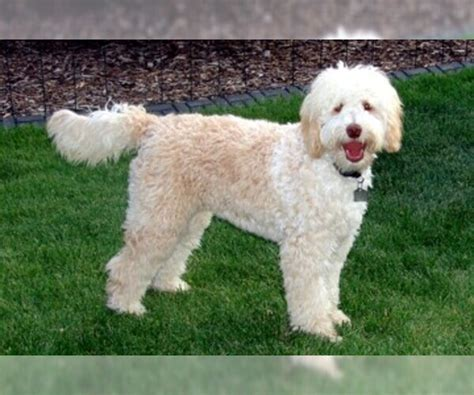 Australian Labradoodle Breed Information and Pictures on