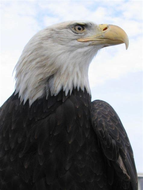 Conservationists to File Lawsuit in Bald Eagle Fight