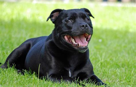 Staffordshire Bull Terrier | Dog Breeds Facts, Advice