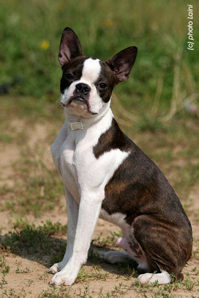 picture perfect | Boston terrier, American dog, Lap dogs