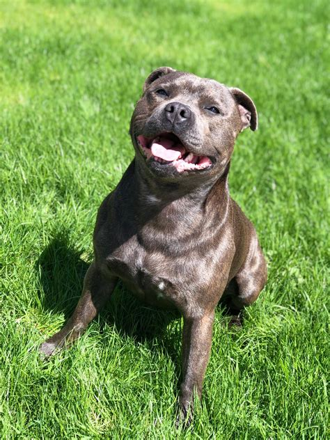 """File:Staffordshire Bull Terrier, called """"King"""""""