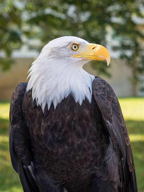 Bald Eagle - Free Jigsaw Puzzles Online