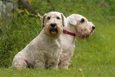 Sealyham Terrier Breed Guide - Learn about the Sealyham