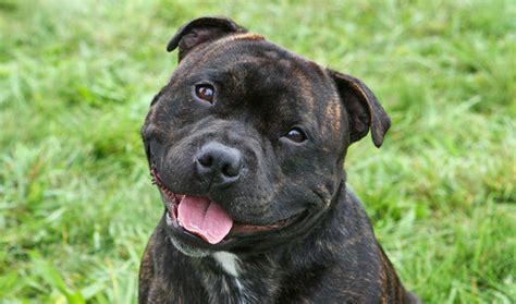 10 Things You Never Knew About Staffordshire Bull Terriers